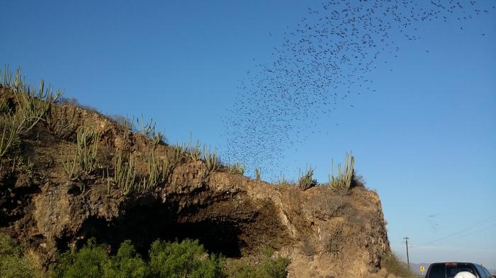 Fledermäuse bei Topolobampo